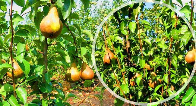 Агротехника выращивания груши «Бере Боск»