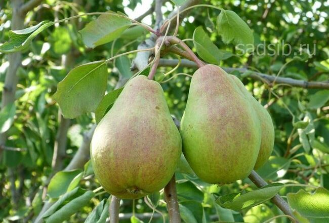 Правила выращивания груши сорта «Вековая»