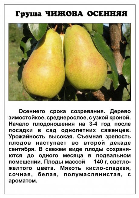 Груша Виктория: описание и характеристика сорта, правила выращивания