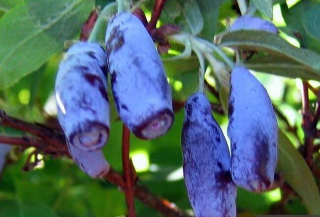 Скороплодный сорт жимолости Виола