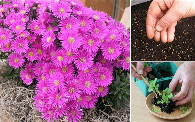 Астра однолетняя: посадка и уход, выращивание из семян, фото