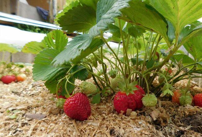 Сорт земляники Царскосельская с самыми сладкими ягодами, их дегустационная оценка 5 баллов