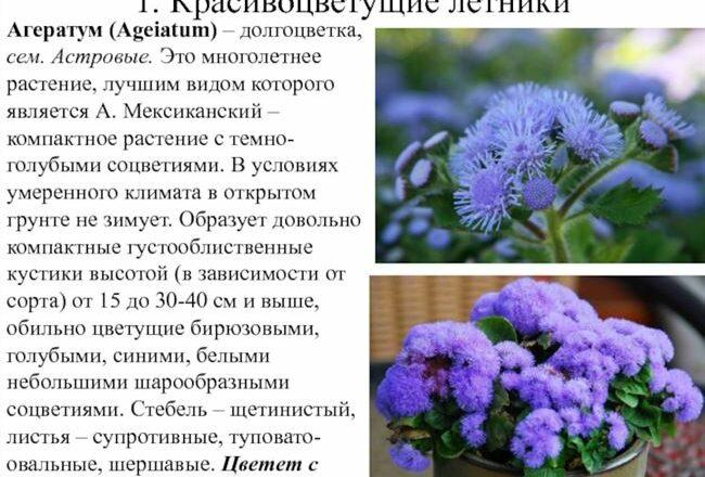Агератум (Ageratum): фото, виды и сорта с описанием, названием, когда и как цветет